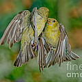 Lesser Goldfinch Females Fighting by Anthony Mercieca