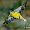 Lesser Goldfinch Male-flying by Anthony Mercieca