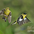 Lesser Goldfinch Pair In Flight by Anthony Mercieca