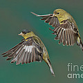 Lesser Goldfinch Pair In The Air by Anthony Mercieca
