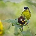 Lesser Goldfinch  by Saija  Lehtonen