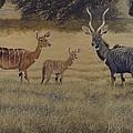 Lesser Kudu by Alan Suliber