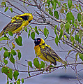 Lesser Masked Weaver by Tony Murtagh