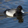 Lesser Scaup Drake by Bob Christopher
