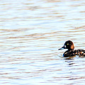Lesser Scaup by Edward Peterson