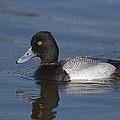 Lesser Scaup Male by Tom Vezo