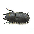 Lesser Stag Beetle by Tom Conway