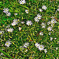 Lesser Stitchwort Near Lobster Cove In Gros Morne Np-nl by Ruth Hager