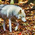 Let The Timber Wolf Live by John Haldane