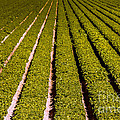 Lettuce Farming by Robert Bales