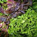 Lettuce Medley by Dee Flouton