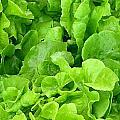 Lettuce Sing by Cynthia Wallentine