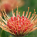 Leucospermum Pincushion Protea Flower - Tropical Sunburst - Hawaii by Sharon Mau