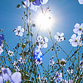 Lewis Blue Flax Backlit by Kent Becker