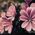 Lewisia Flowers - 7 by Kenny Glotfelty