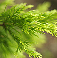 Leyland Cypress Golconda by Rebecca Sherman
