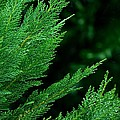 Leyland Cypress Green by Maria Urso