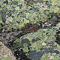 Lichen And Granite Img 6187 by Greg Kluempers