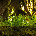 Licorice Fern by Rich Leighton
