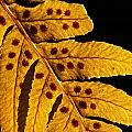 Licorice Fern by Tyler Duvall