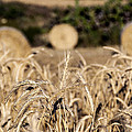 Life Cycle Of Wheat - Harvesting by Focus  Fotos