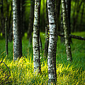 Life Is A Birch by Andy Bitterer