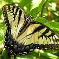 Light Form Female Tiger Swallowtail by John Thornton