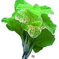 Light Green Iris by Bruce Nutting