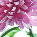 Light Impression. Pink Chrysanthemum  by Jenny Rainbow