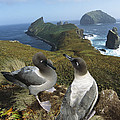 Light-mantled Albatrosses Courting by Tui De Roy
