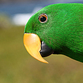Light Of Love - Eclectus Parrot by Sharon Mau