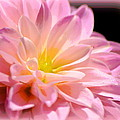 Light Pink Dahlia 1 by Sheri McLeroy