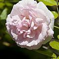 Light Pink Rose by Jason O Watson