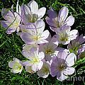 Light Purple Crocus Flowers In Spring by Kerstin Ivarsson