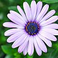 Light Purple Daisy  by Brittany Horton