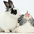 Light Sussex Bantam Hen And Rabbit by Mark Taylor