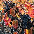 Light Through Fall Vineyard by Carol Groenen