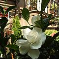 Like A Rose by Katerina Naumenko
