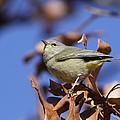 Lil' Bit - Orange-crowned Warbler by Travis Truelove