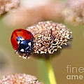 Lil Ladybug 2 by Sharon Talson