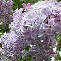 A Lighter Shade Of Lilac by Martin Howard