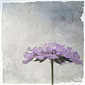 Lilac by Annie Snel