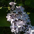 Lilac Branch by Nicki Bennett