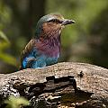 Lilac Breasted Roller by Chad Davis
