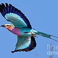 Lilac-breasted Roller In Flight by Johan Swanepoel