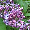 Lilac Buds And Blossoms by Brooks Garten Hauschild