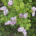 Lilac Bush by Corinne Elizabeth Cowherd