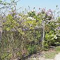 Lilac Fence II by Corinne Elizabeth Cowherd