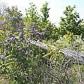 Lilac Fence IIi by Corinne Elizabeth Cowherd