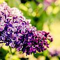 Lilac Festival by Sara Frank